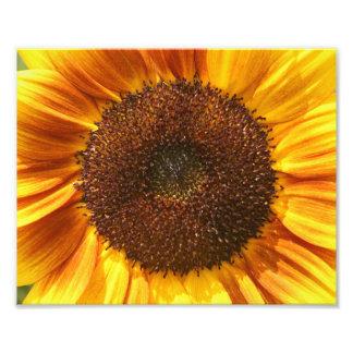 Gult, orange och brunt solrosCloseupfoto Fototryck