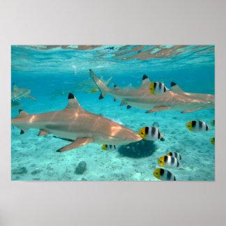 Hajar i den Bora Bora lagunaffischen Poster