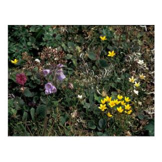 Hall övildblommar - myr Saxifrage, Jacob la Vykort