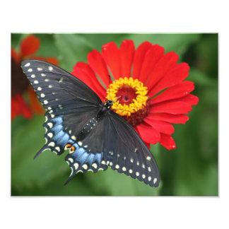 Härlig svart Swallowtail fjäril & röd Zinnia Fototryck