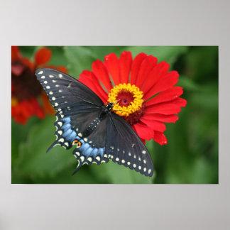 Härlig svart Swallowtail fjäril & röd Zinnia Poster