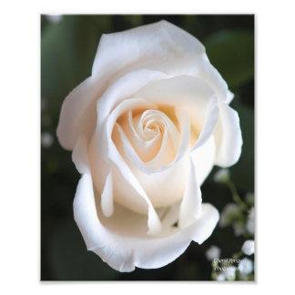 Härlig vit ros fototryck