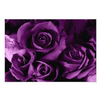 Härliga purpurfärgade ro fototryck