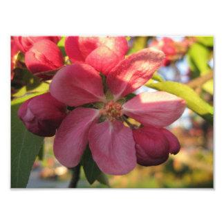 Härligt träd för rosakrabbaApple blomma Fototryck