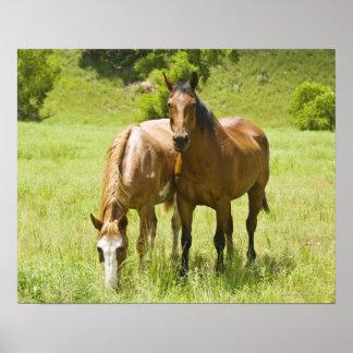 Hästar i den San Rafael dalen, Arizona Poster