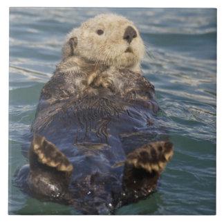 Havsuttrar leker på isberg på överrrakningöppninge stor kakelplatta