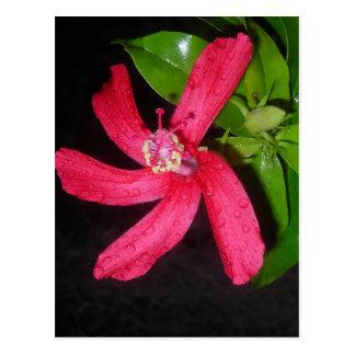 hibiscus rouge vykort