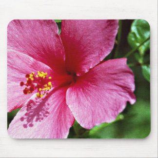 Hibiskus rosa musmatta
