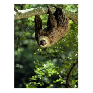 Hoffmanns två-toed sloth vykort