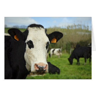 Holstein nötkreatur hälsningskort