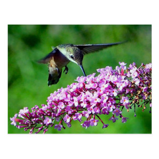 Hummingbird 4 vykort