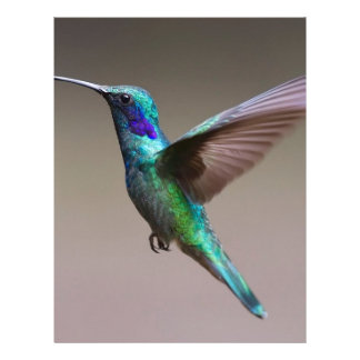 Hummingbird Brevhuvud
