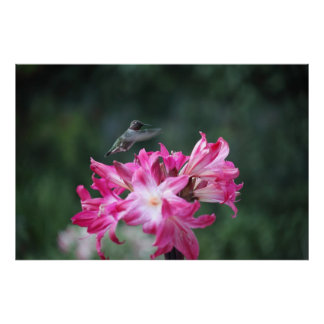 hummingbird med belladonnaliljar poster