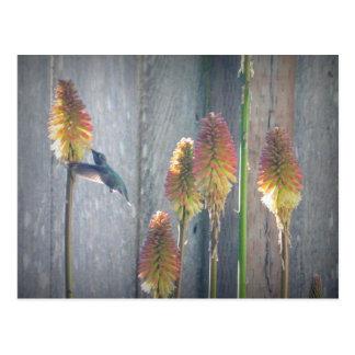 Hummingbird Vykort