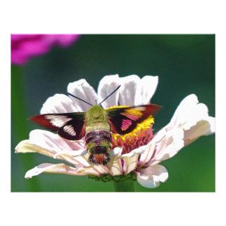 Hummingbirdmal Brevhuvud