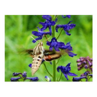 Hummingbirdmal Vykort