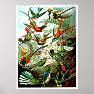 Hummingbirds 1904 av Ernst Haeckel. Poster