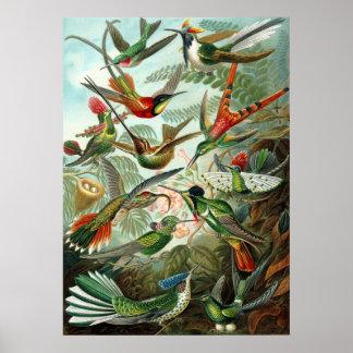 Hummingbirds för Ernst Haeckel affisch~ Poster