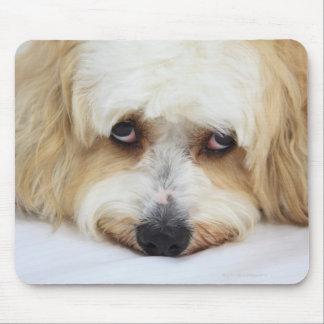 humoristisk närbild av bichonfrisehunden musmatta