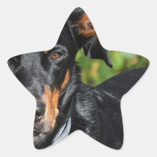 Hund Beauceron Stjärnformat Klistermärke