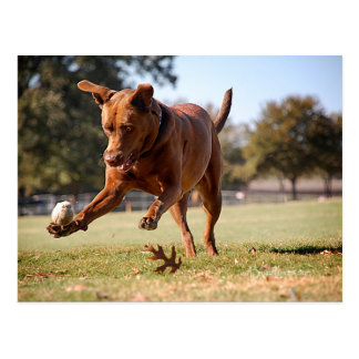 Hund för blandning för chokladlabbgrop som jagar vykort