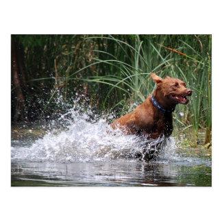 Hund för blandning för chokladlabbgrop som plaskar vykort