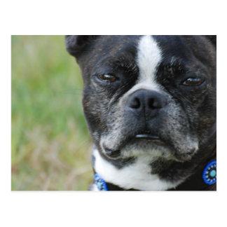 Hund för klassikerBoston Terrier Vykort