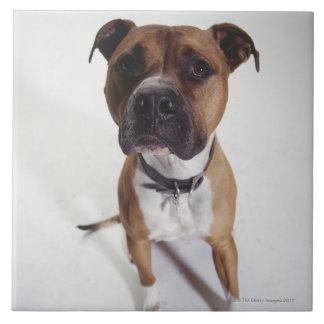 Hund sitta för amerikanStaffordshire Terrier, Kakelplatta