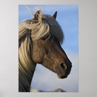 Huvud av den isländska hästen, island print