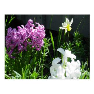 Hyacint & påsklilja vykort