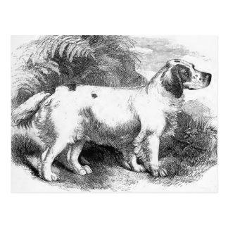 Illustration för hund för vintage för Clumber Vykort