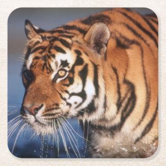 Indien Bengal tiger (pantheraen Tigris) 2 Underlägg Papper Kvadrat