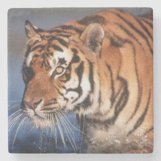 Indien Bengal tiger (pantheraen Tigris) 2 Underlägg Sten