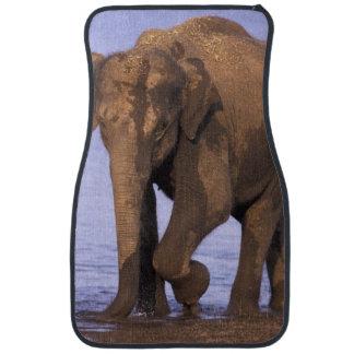 Indien Nagarhole nationalpark. Asiatisk elefant Bilmatta