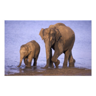 Indien Nagarhole nationalpark. Asiatisk elefant Fototryck