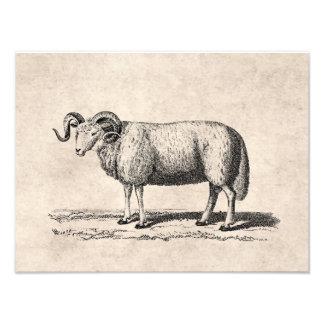 Inhemsk fårillustration för vintage - 1800's ramma fotografi