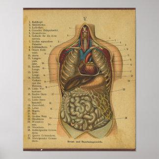 Inre organ Vinatge för tyskt anatomitryck Poster