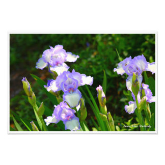 Iristrädgård Fototryck
