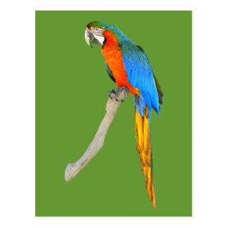Isolerad scharlakansröd macaw vykort