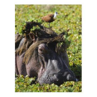 Jacana anseende på flodhästen (flodhäst vykort