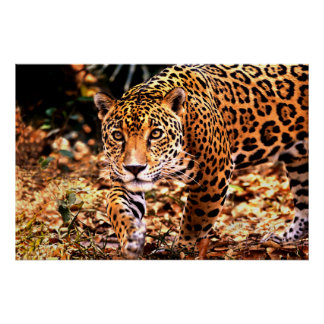Jaguar - Belize - Central America Poster