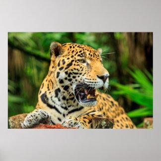 Jaguar visar dess tänder, Belize Poster