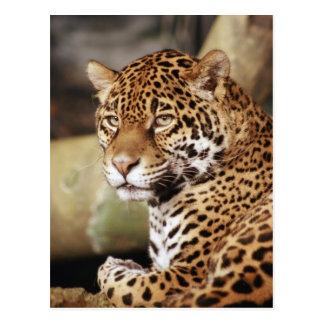 Jaguarvykort Vykort