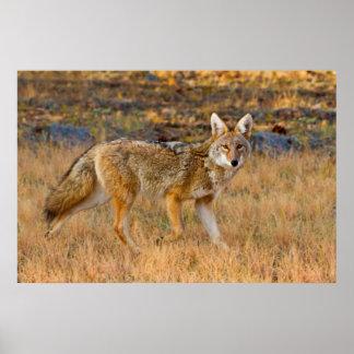 Jakt för prärievarg (Canis Latrans) Poster