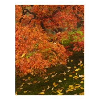 Japansk lönn i nedgångfärg 2 vykort