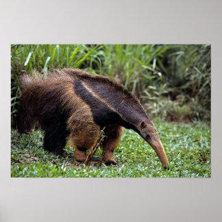 Jätte- anteater (Myrmecophagatridactylaen) Poster