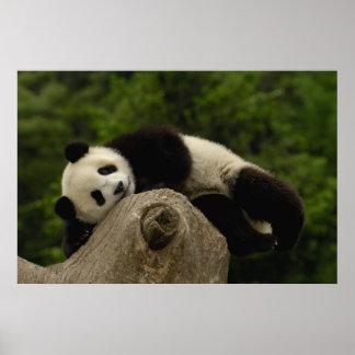 Jätte- melanoleuca) för pandabebisAiluropoda 13 Posters