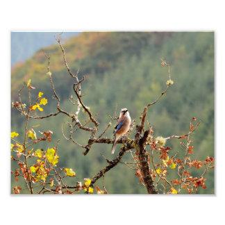 Jay fågel på naturen fototryck