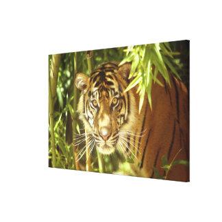 Kalifornien San Francisco Zoo, Sumatran tiger Canvastryck