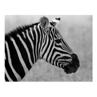Kallt svartvitt zebra mönstrad vykort
